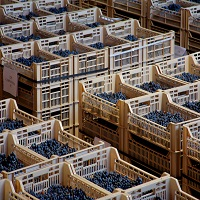 Drying Amarone grapes at Allegrini