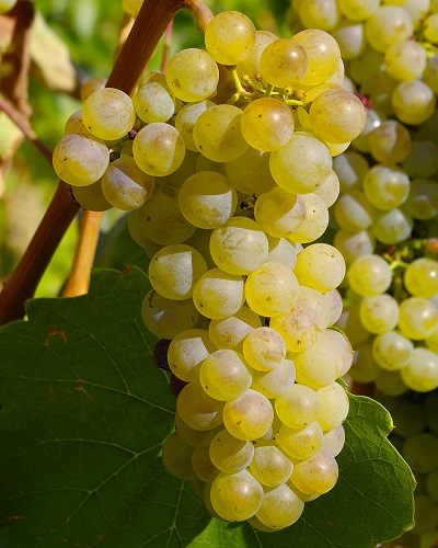 LESSER KNOWN WHITE GRAPES image